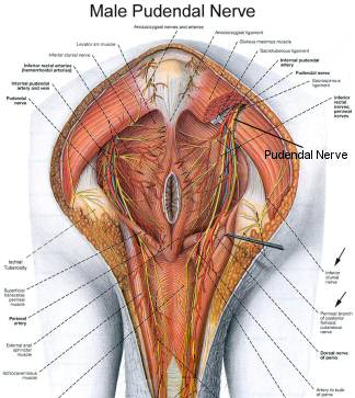 Showing the Male Pudendal Nerve