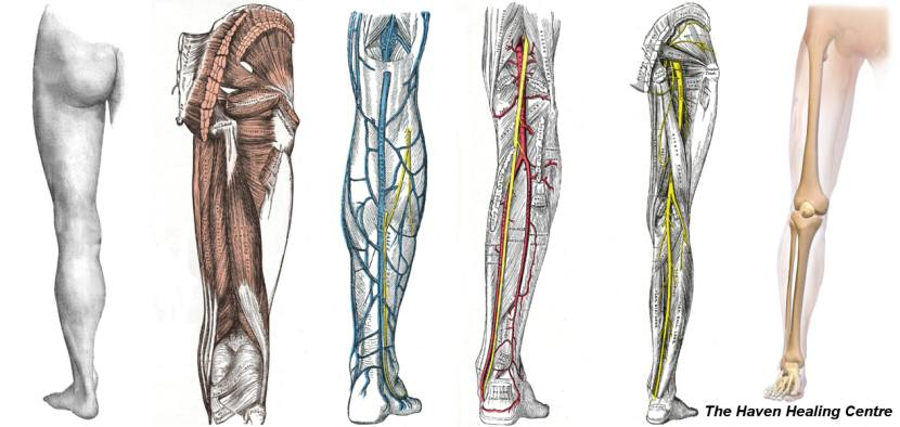 Human Leg Showing Circulation